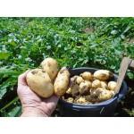 Gazdovské zemiaky XXL 10kg