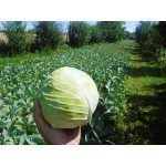 Jesenná kapusta 1 ks hmotnosť hlávky cca 2kg *vhodná na kvasenie a čalamádu*